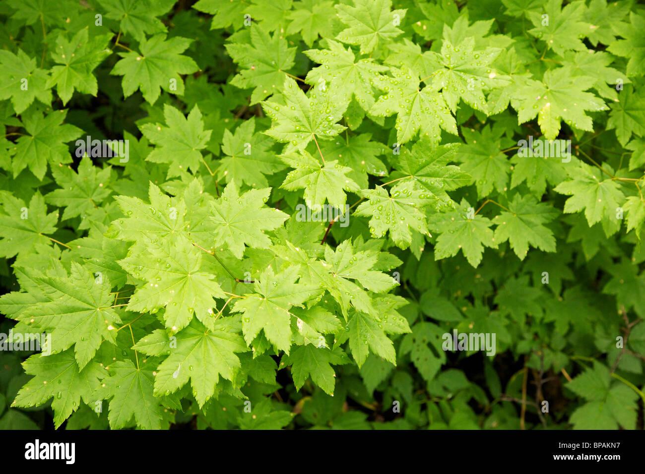 Vine Maple Leaves Acer Circinatum Mount Rainier National Park