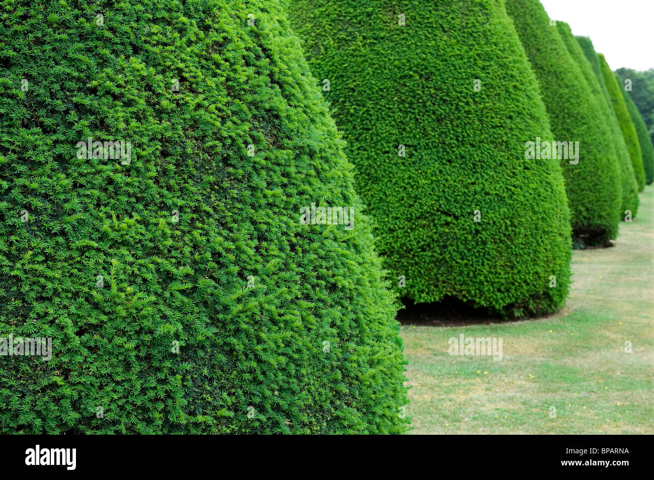 clipped conical shaped yew trees - Stock Image