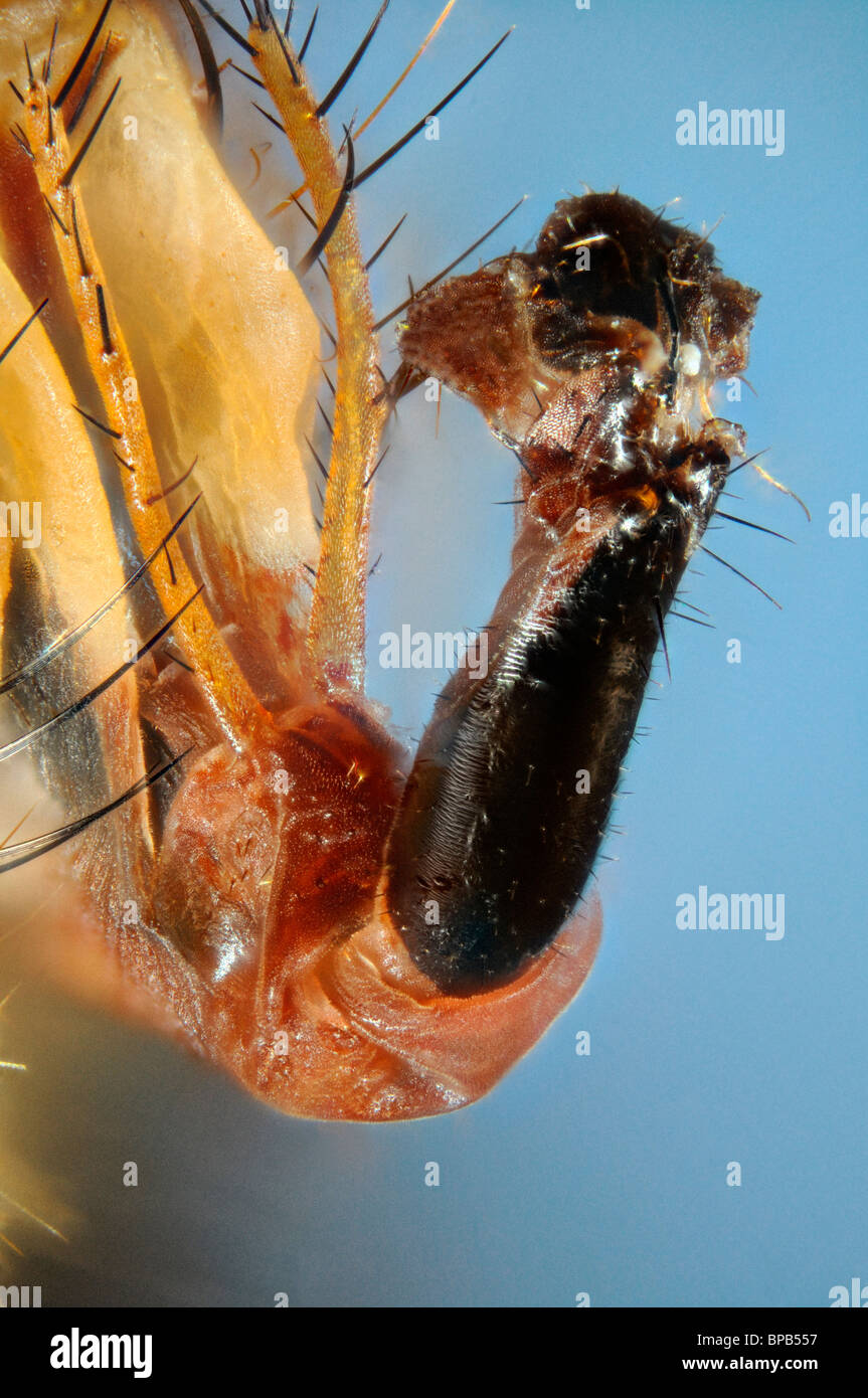 Extreme close up of the mouthparts of the fly Larvaevora fera, family Tachinidae against a blue background Stock Photo