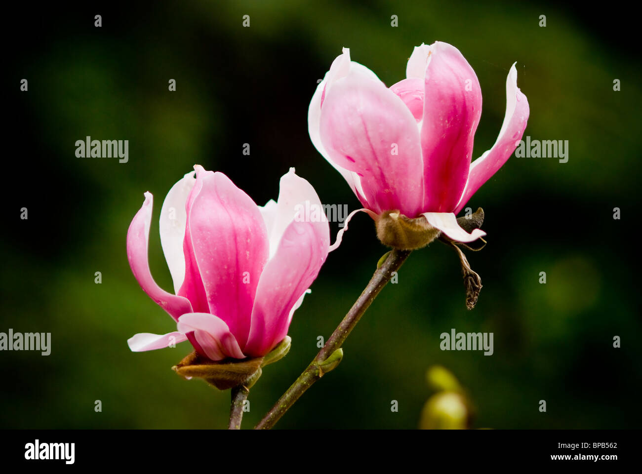 Big pink flowers stock photos big pink flowers stock images alamy two big pink flowers blossom stock image mightylinksfo