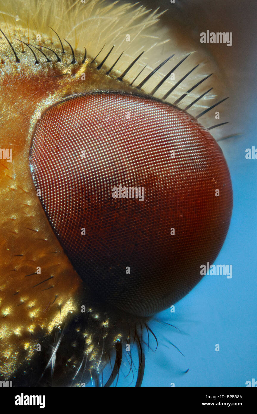 Extreme close up of the eye of the fly Larvaevora fera, family Tachinidae showing the hexagonla structure of the Stock Photo