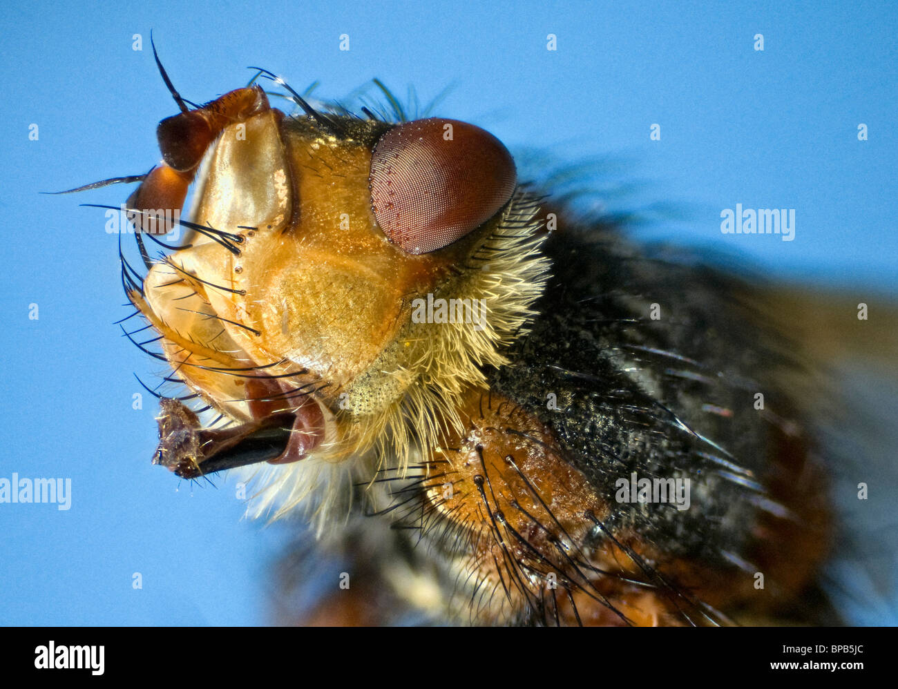 Extreme close up of the head of the fly Larvaevora fera, family Tachinidae showing extended mouthparts. Stock Photo