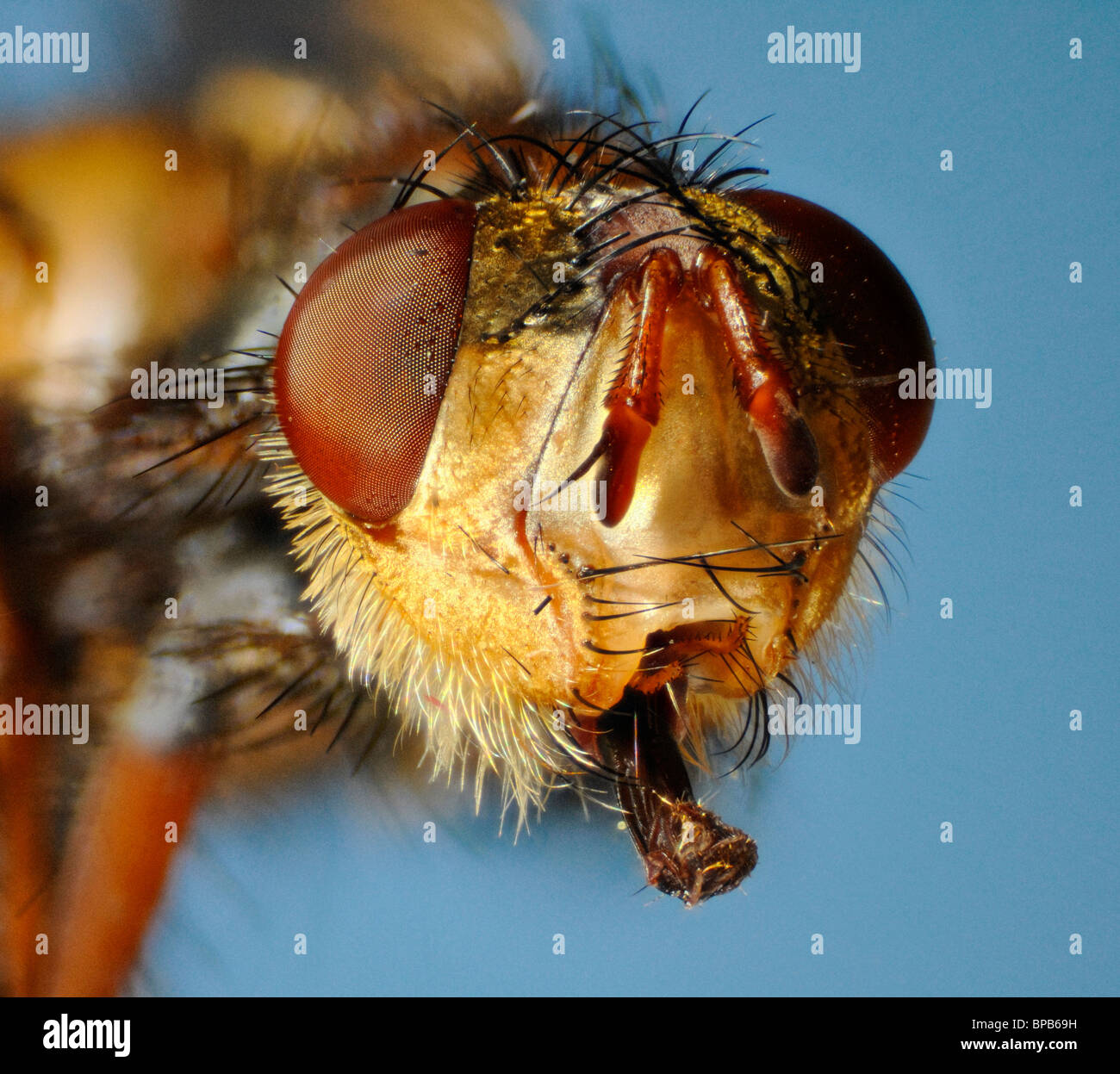 Extreme close up of the face of the fly Larvaevora fera, family Tachinidae, showing extended mouthparts Stock Photo