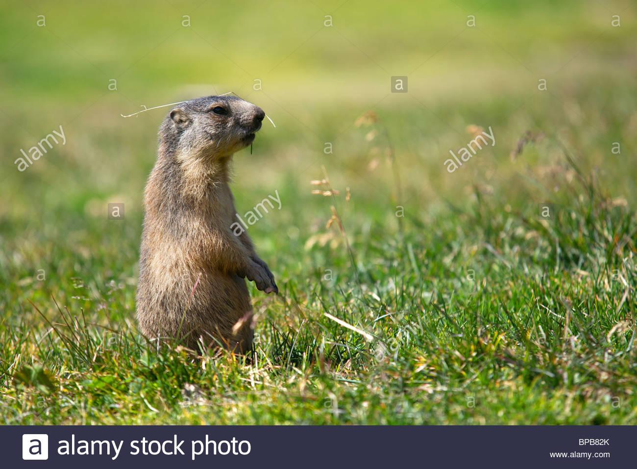 alpine marmot (marmota marmota) standing with a blade of grass over its head - Stock Image