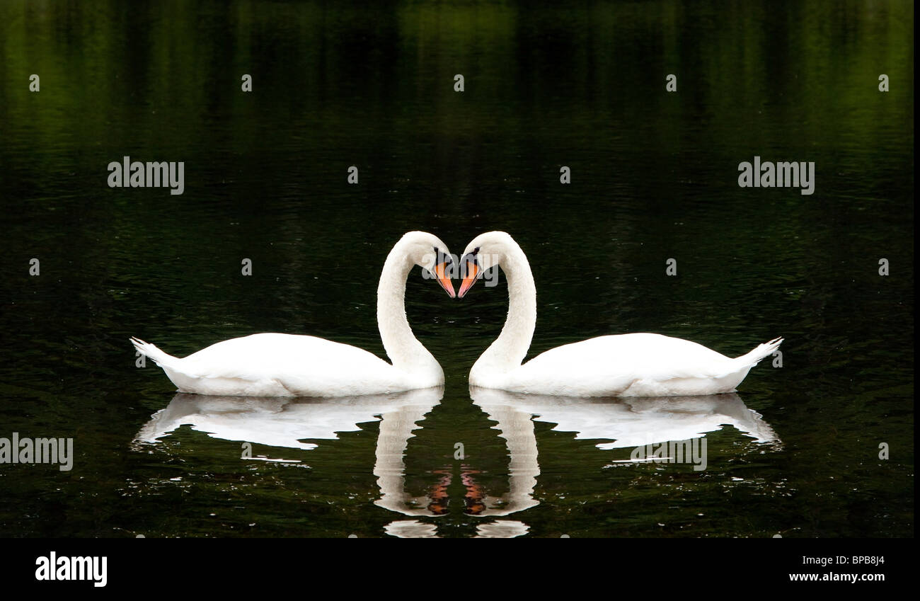 Two beautiful white swans romantically together creating a heart shape in a lake. Stock Photo