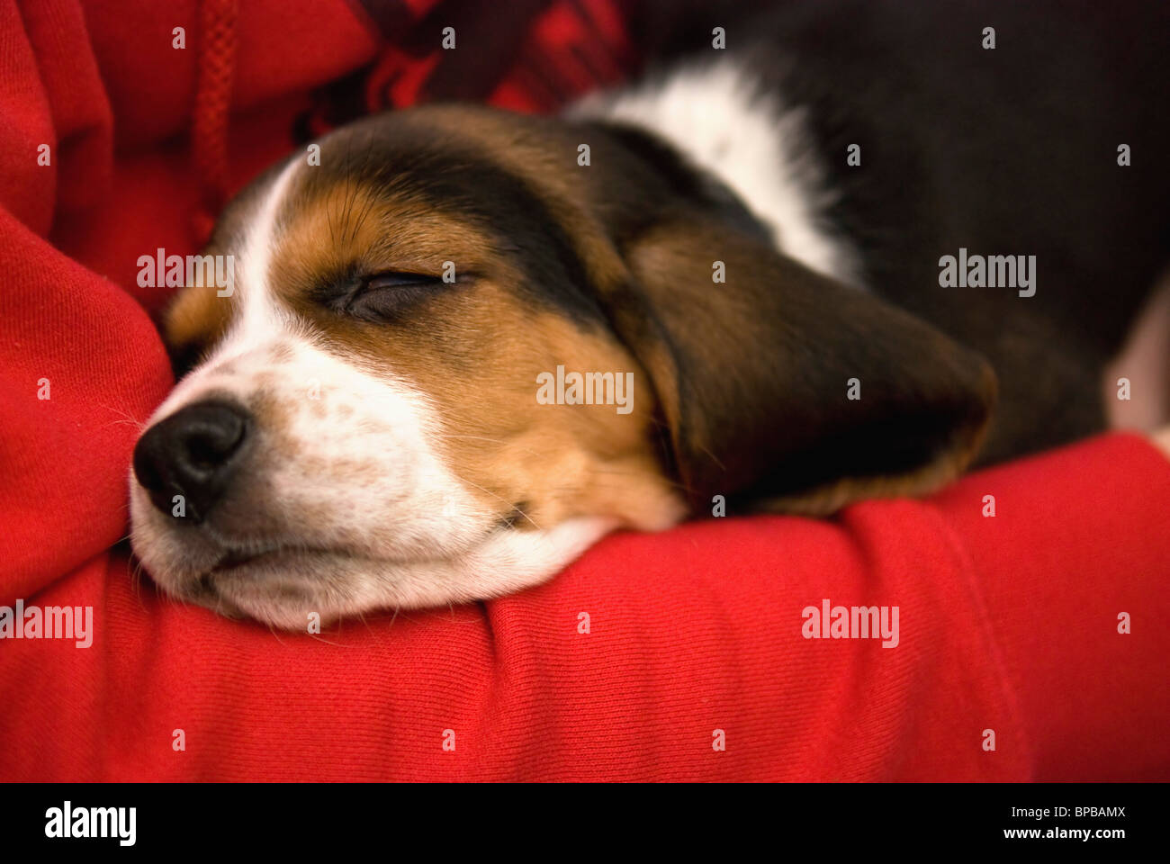 bashaw, alberta, canada; a dog naps on a red blanket - Stock Image