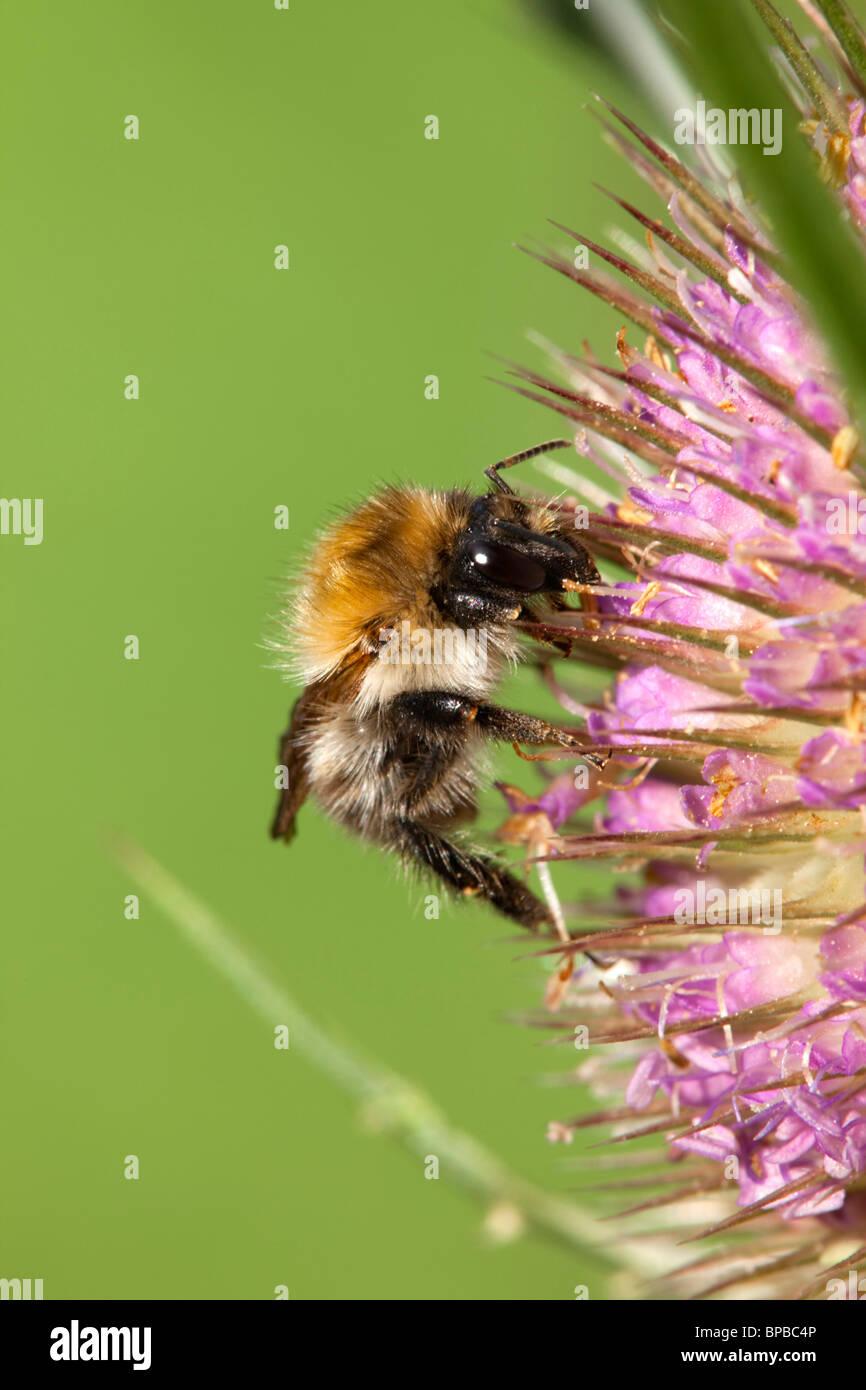 Bee on teasel flower - Stock Image