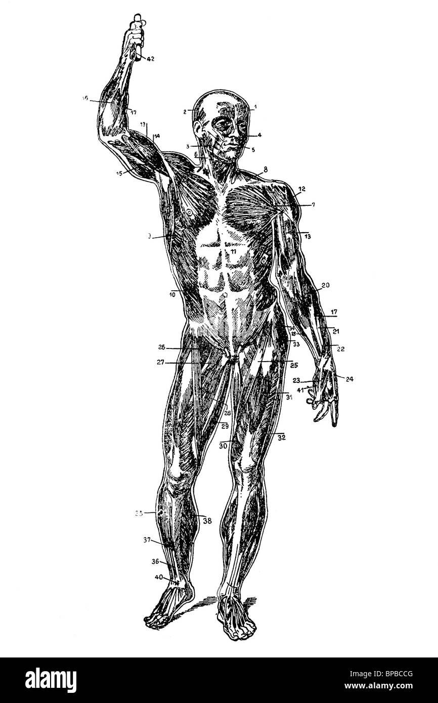 Human Arms Anatomy Diagram Stock Photos & Human Arms Anatomy Diagram ...