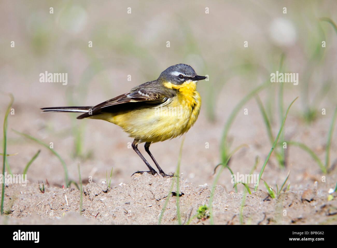 Yellow Wagtail; Motacilla flava; male Stock Photo
