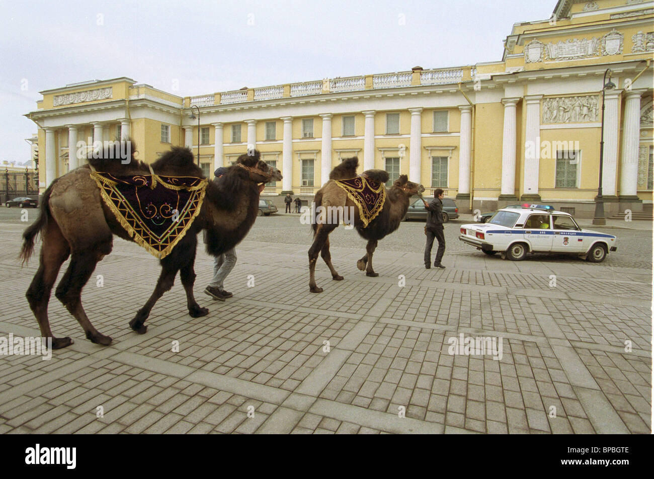 Two camels sent to St.Petersburg circus from Kalmykiya. - Stock Image
