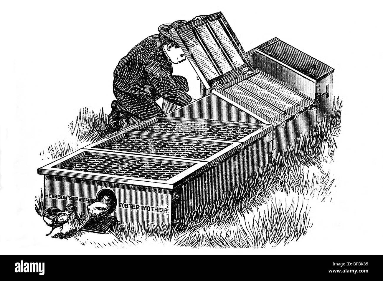Breeding chicks. Antique illustration. 1900. - Stock Image