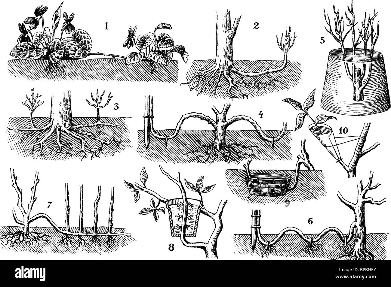 Plants reproduction without seeds. Antique illustration. 1900. Stock Photo