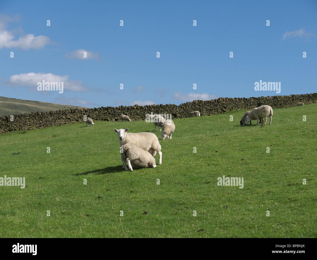 Ewe feeding a well grown lamb, Saddleworth, England,UK. - Stock Image