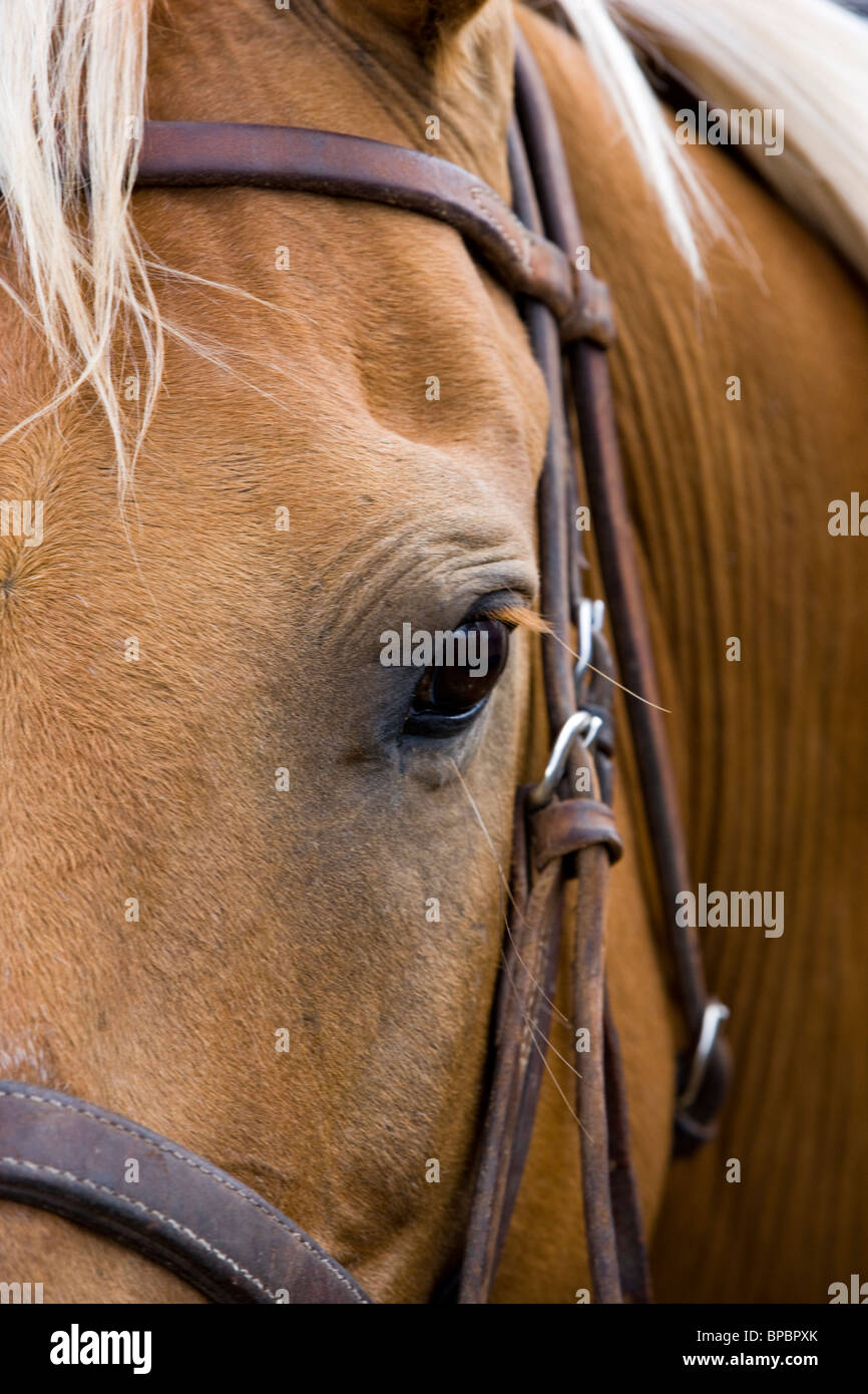 Portrait of a horse, Chaffee County Fair & Rodeo - Stock Image
