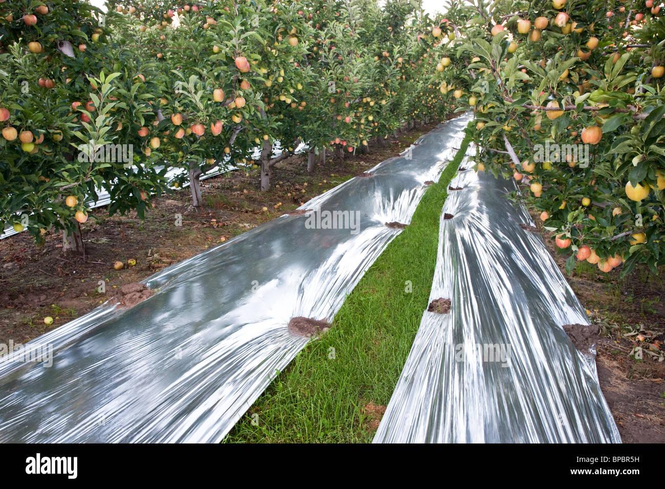 Apples  'Gala' orchard. - Stock Image