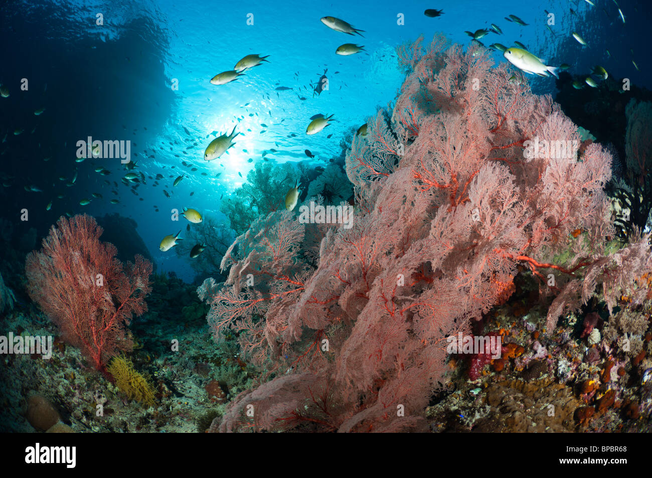 Large sea fans surrounded by a school of damselfish, Misool, West Papua, Indonesia. - Stock Image