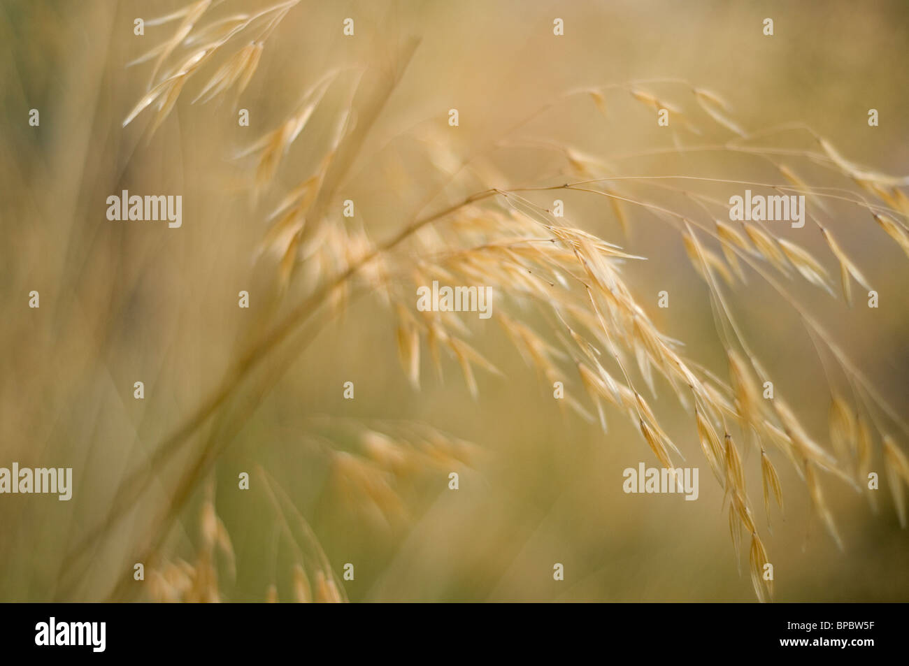 A close-up of some grass blowing in the wind. A shallow depth of field creating a blurred background - Stock Image