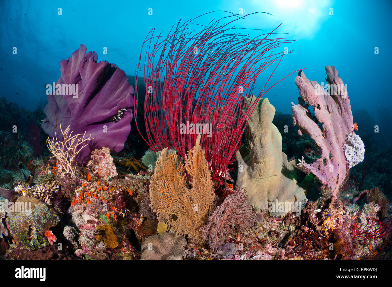 A colorful community of elephant ear sponges, sea whips and sea fans, Misool, West Papua, Indonesia. - Stock Image