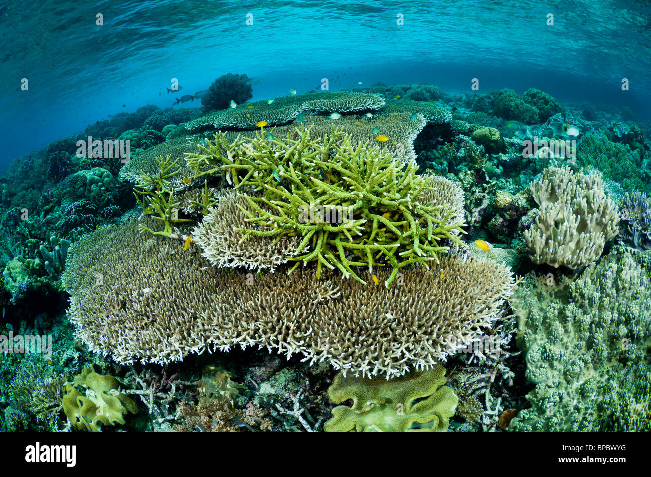Healthy coral reef, Misool, Raja Ampat, West Papua, Indonesia. - Stock Image