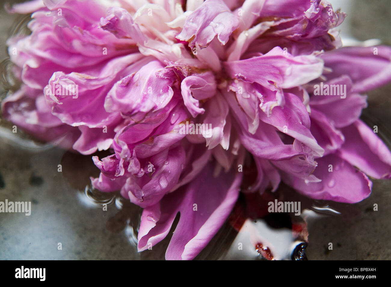 Closeup of pink peony in water. Stock Photo
