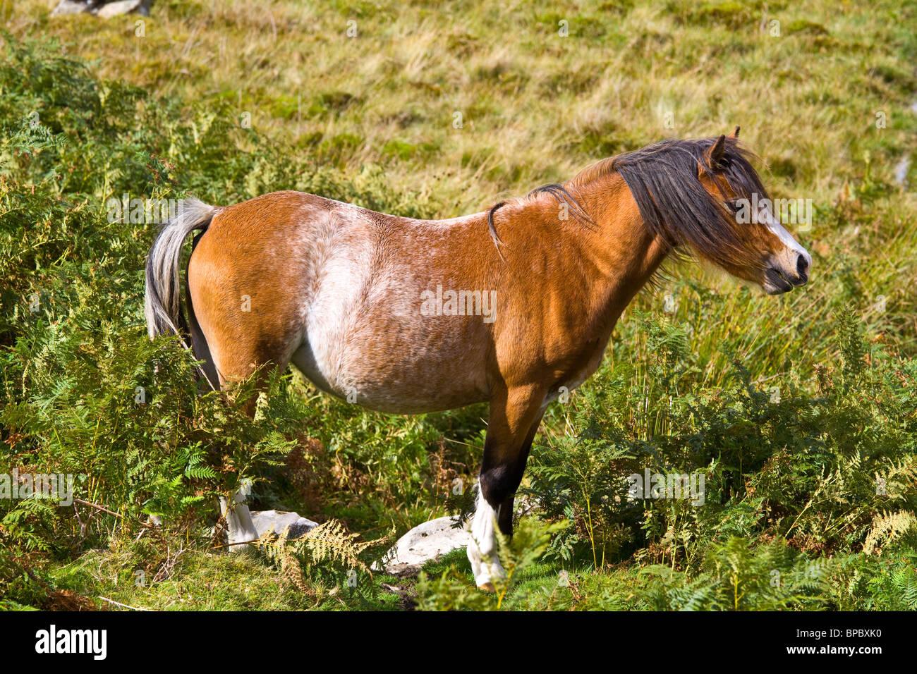 Chestnut roan pony cob trotting on brecon moors - Stock Image