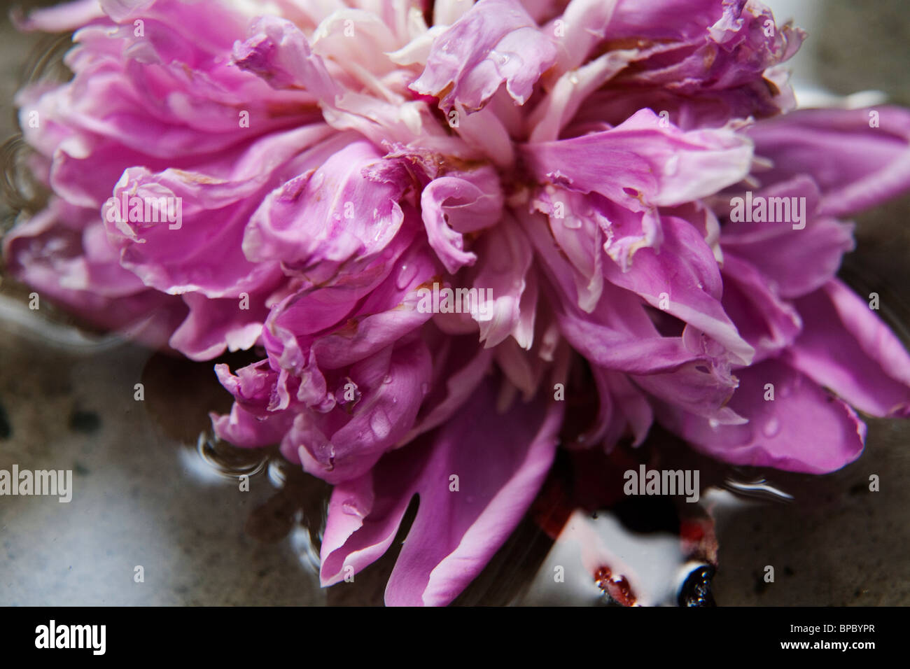 Closeup of petals of a pink peony in water Stock Photo