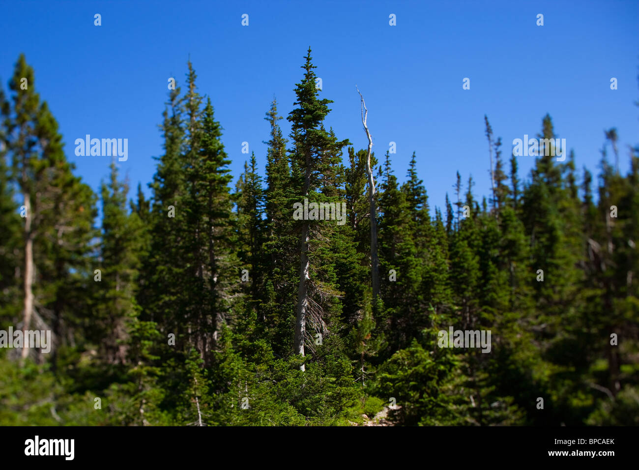 Colorado sunrise hiking in Rocky Mountain National Park, selective focus evergreen trees near Lake Helene. - Stock Image