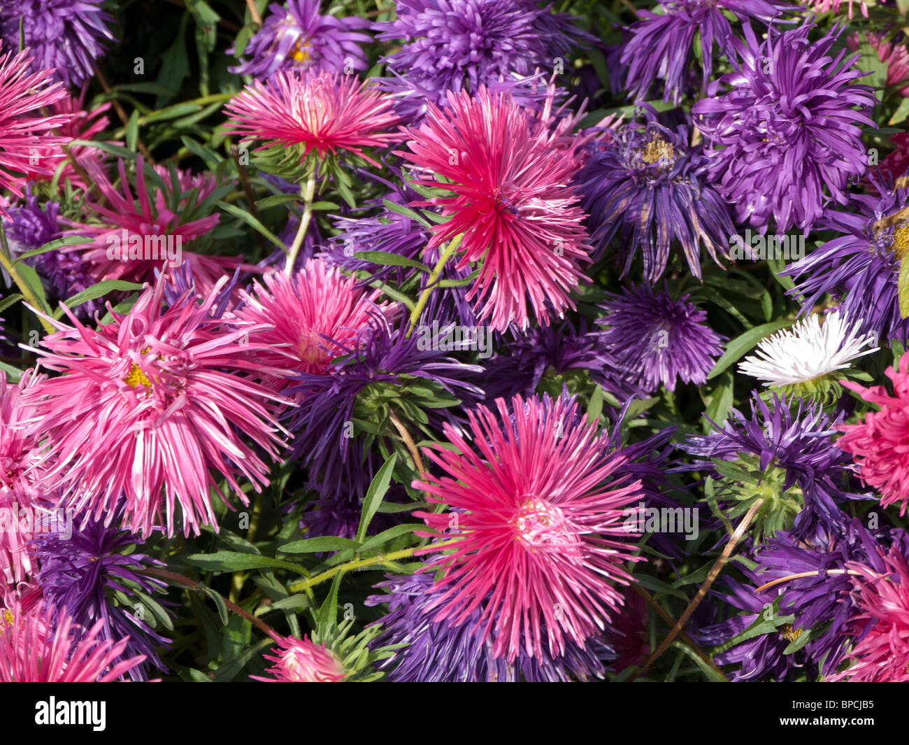 Aster Compositae - Stock Image