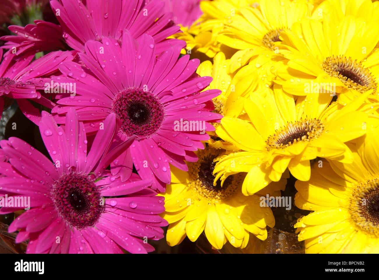 Columbia road, East London . Sunday morning flower market. Yellow and magenta gerberas - Stock Image