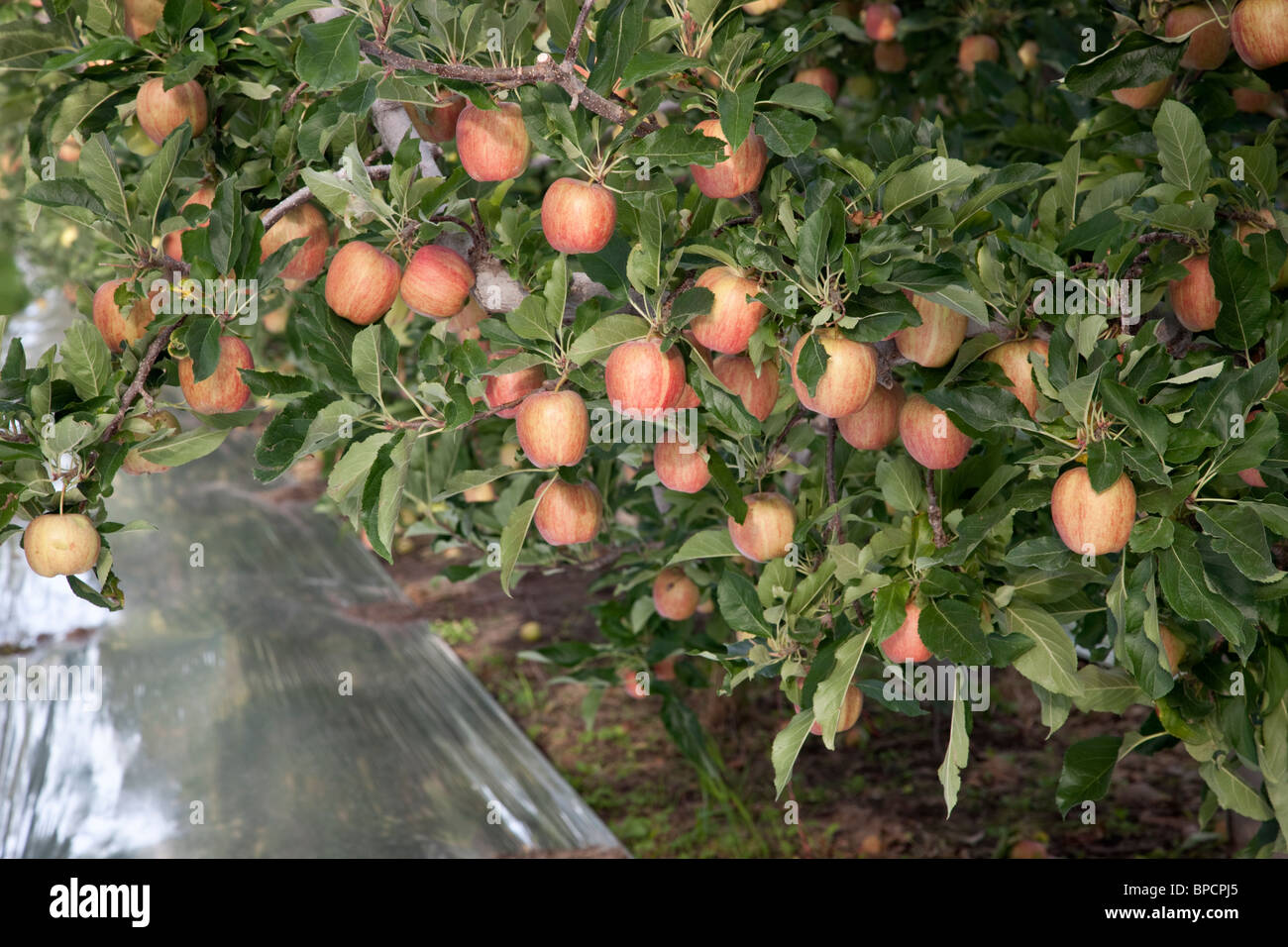 Apples 'Gala' branches. Stock Photo