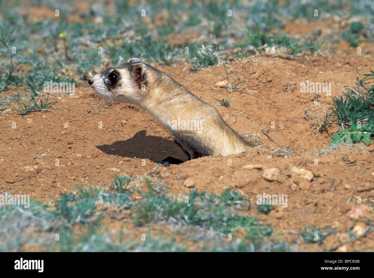 Black-footed Ferret  ENDANGERED - Stock Image
