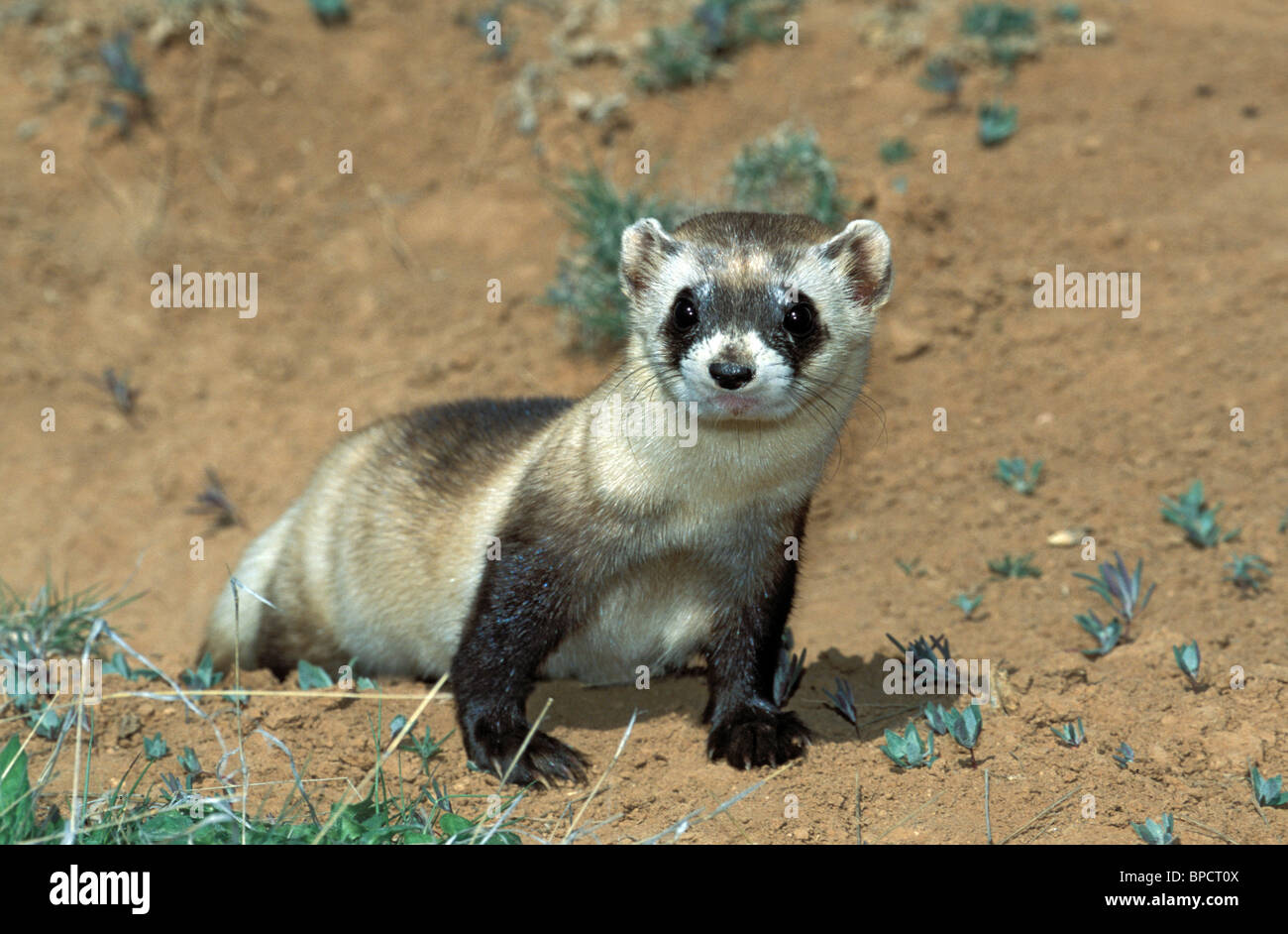 Black-footed Ferret  ENDANGERED SPECIES - Stock Image