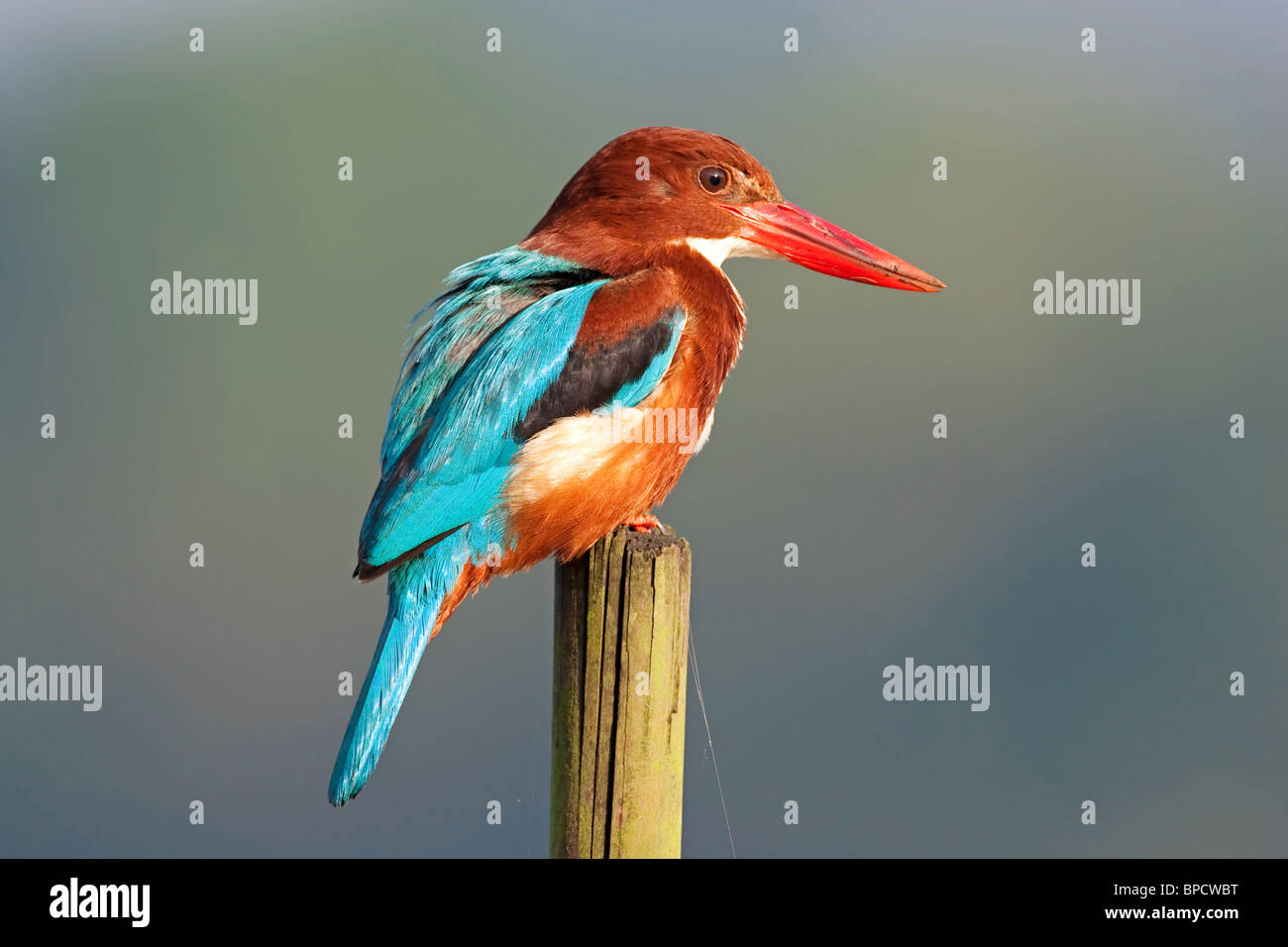 white-throated kingfisher (Halcyon smyrnensis) adult perched on stick, Goa, India, Asia - Stock Image