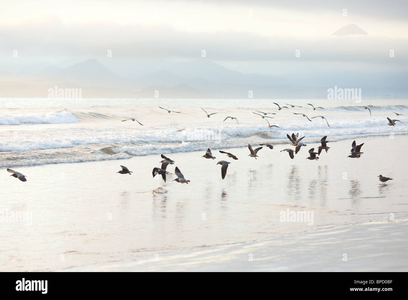 Flock of seagulls on the beach - Stock Image