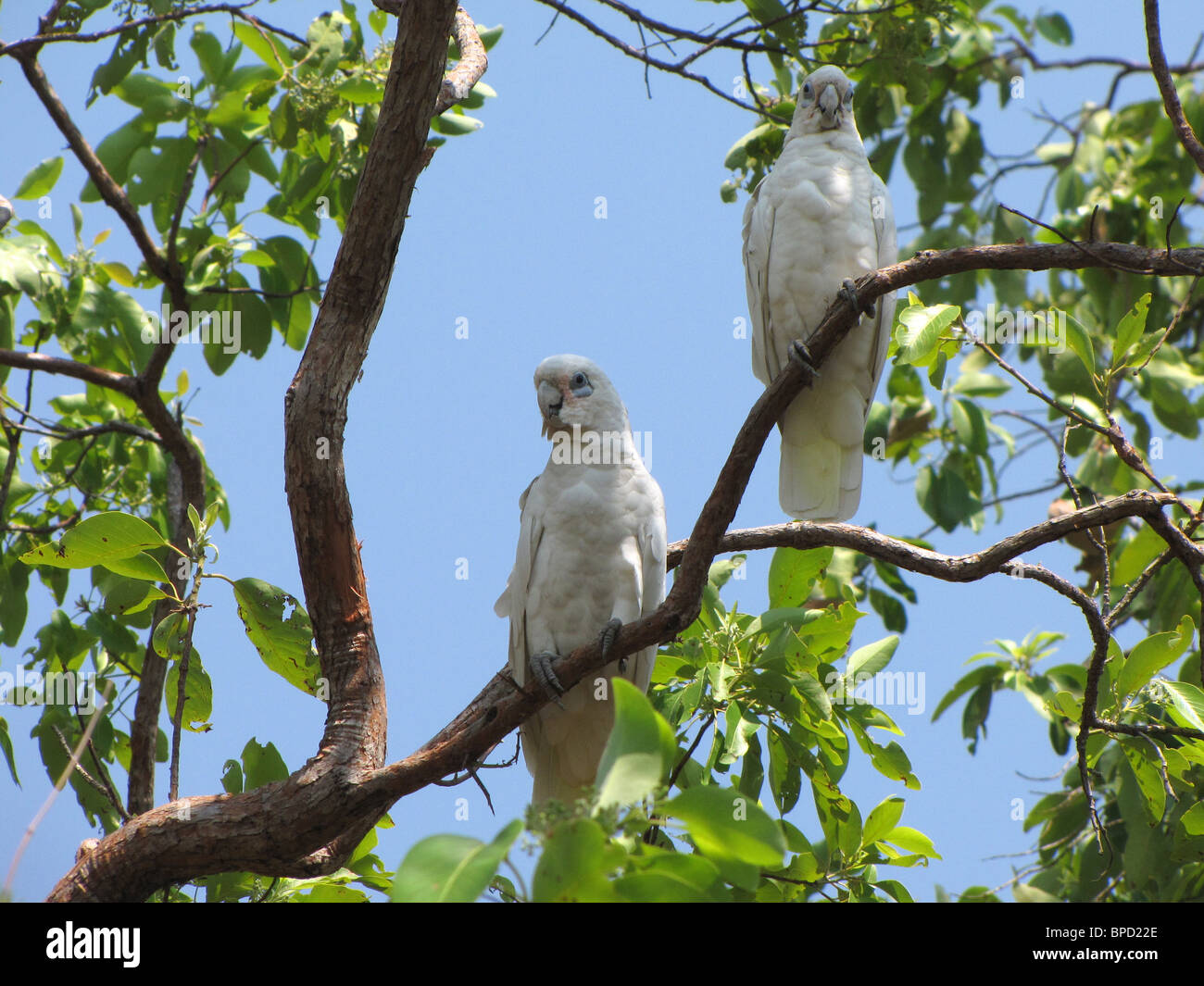 A pair of Little Corellas (Cacatua sanguinea) perched in a gum tree in Leaning Tree Lagoon Nature Park, Australia. - Stock Image