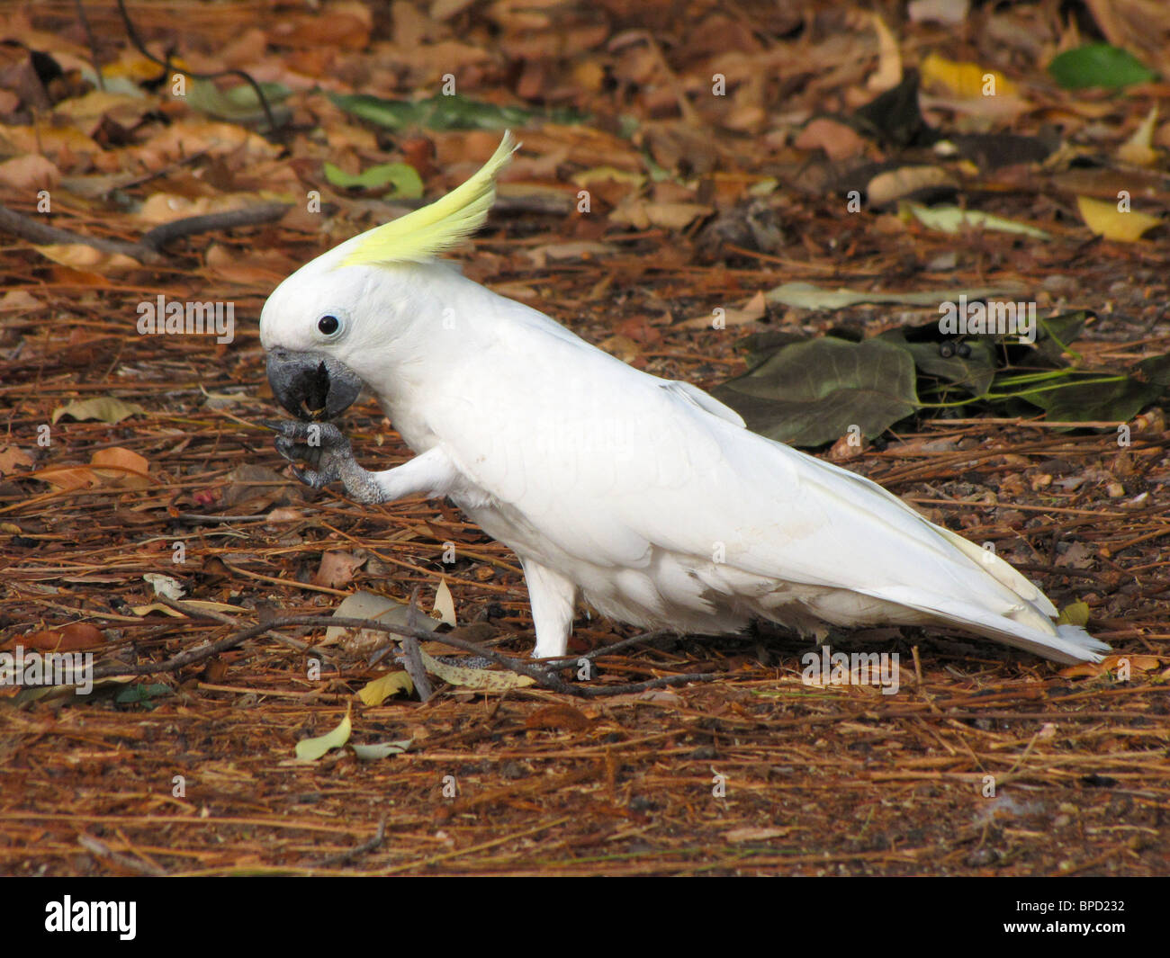 A Sulphur-crested Cockatoo (Cacatua galerita) foraging on the ground in Kakadu National Park, Northern Territory, - Stock Image