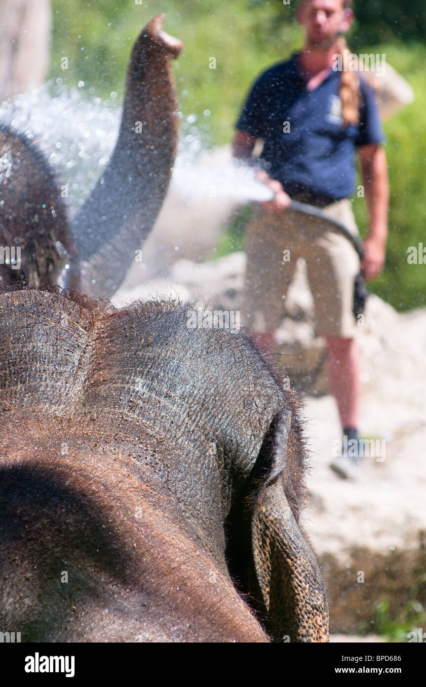 Elephants cooling down from the summer heat at Munich Zoo, Germany. - Stock Image
