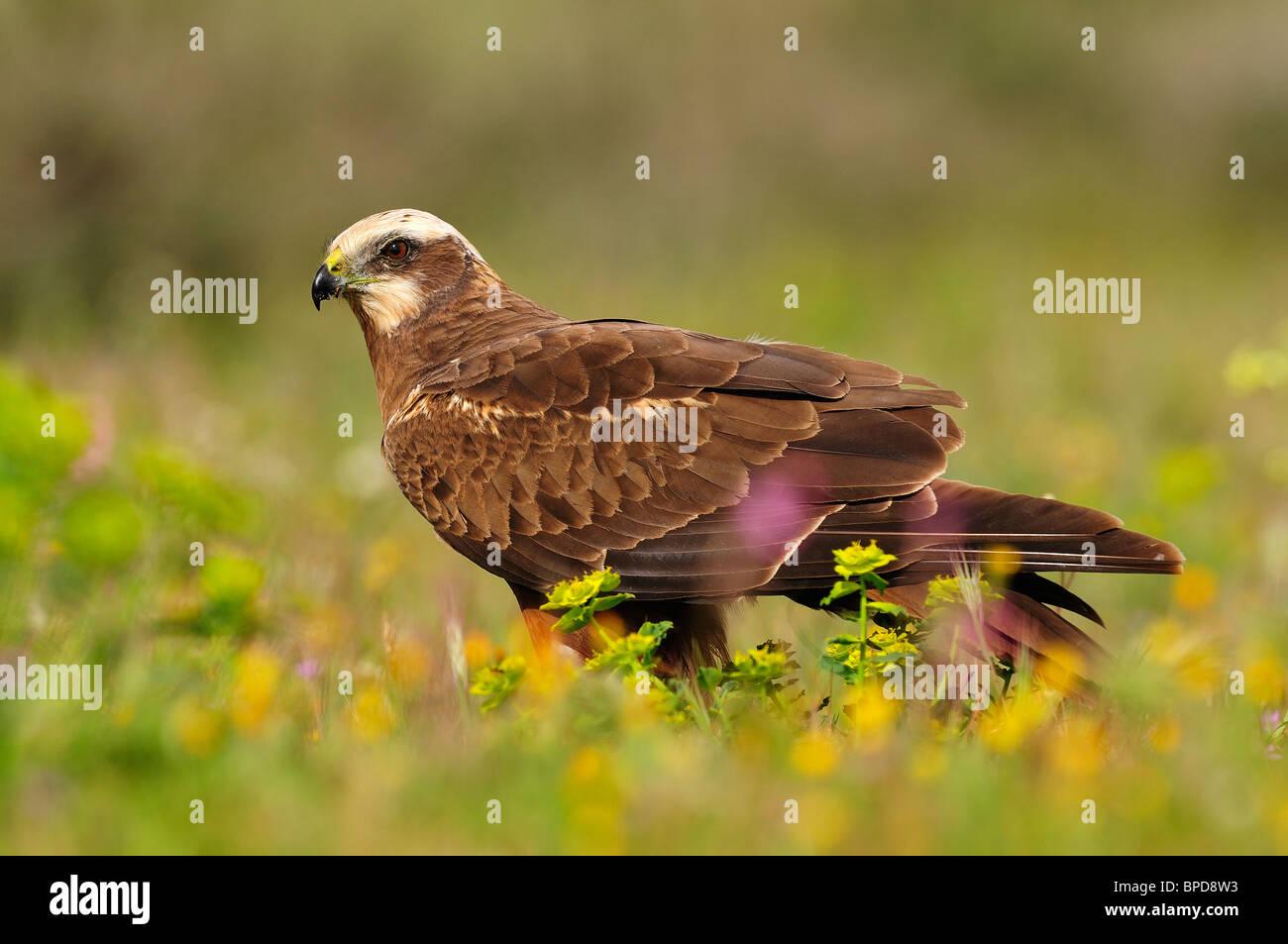 Western Marsh Harrier between the vegetation of the field in spring. Stock Photo