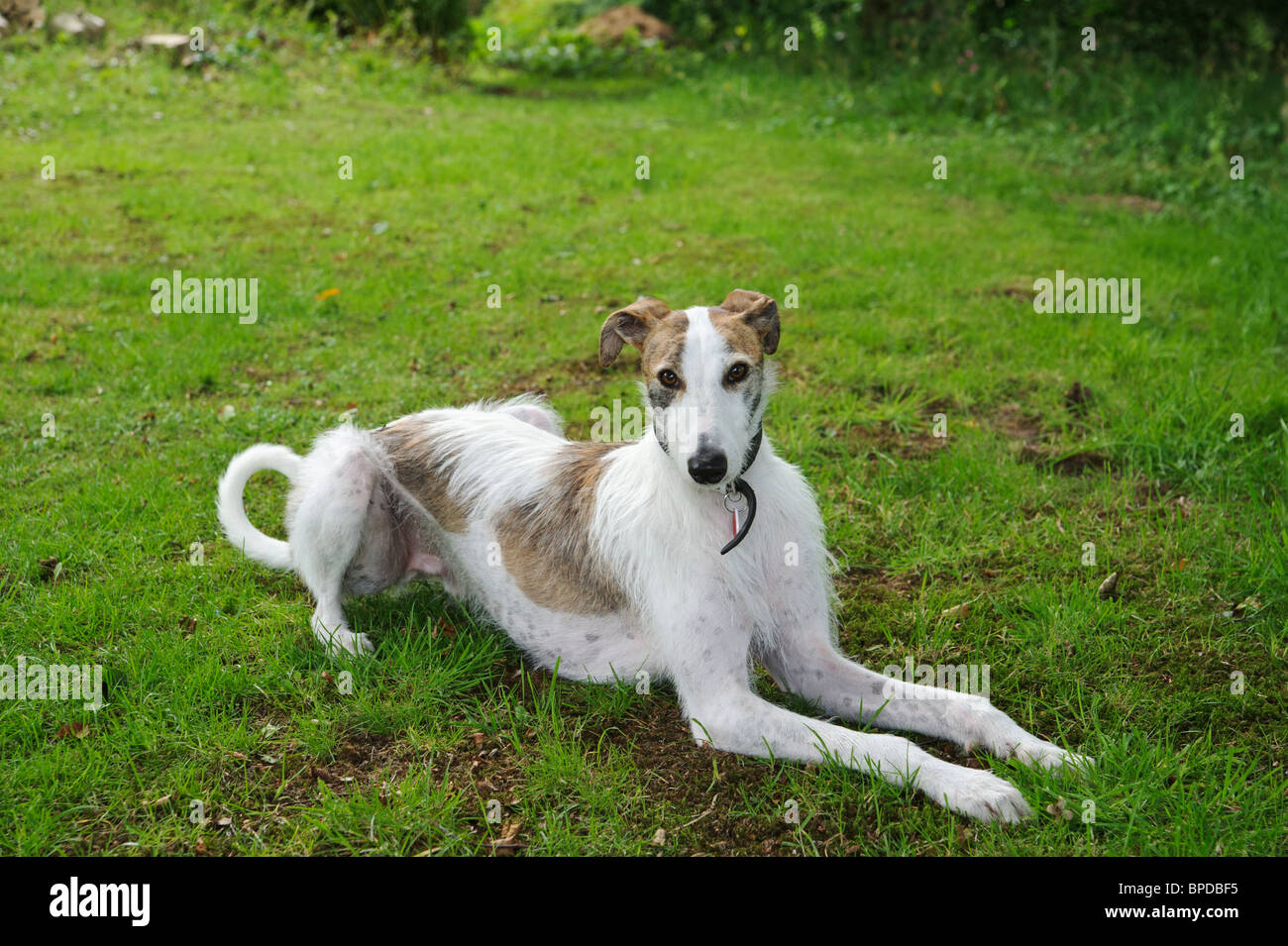 Lurcher lying on grass - Stock Image