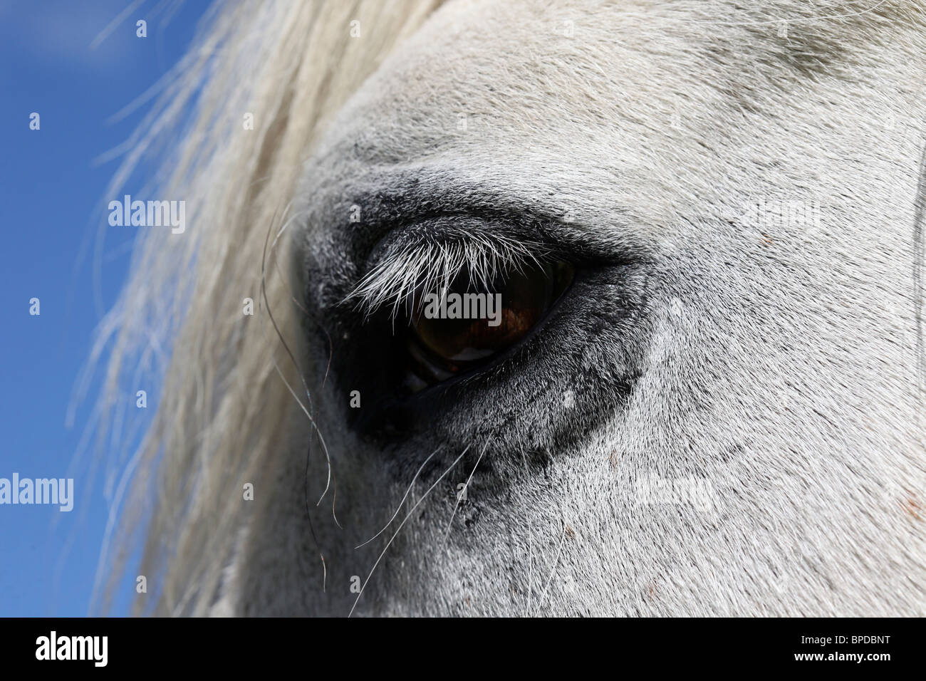 Close-up of White Highland Garron showing eye and Eye lids - Stock Image