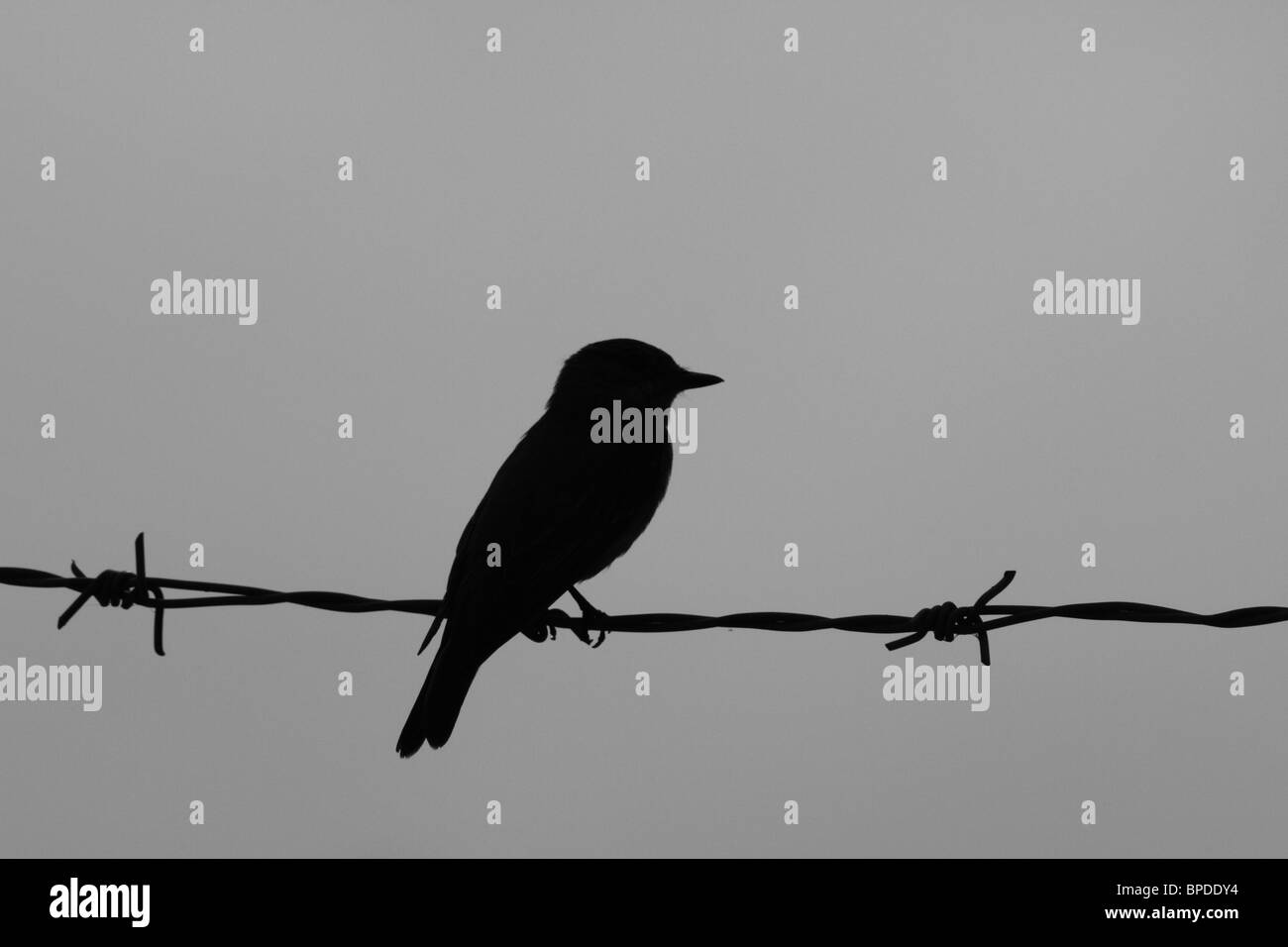 Silhouette of bird sitting on barbed wire Stock Photo: 31029128 - Alamy