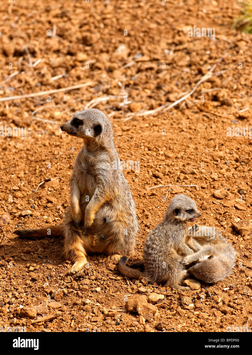 A Meerkat also known as the Suricate (Suricata suricatta) sitting on it's haunches whilst it's babies play nearby Stock Photo