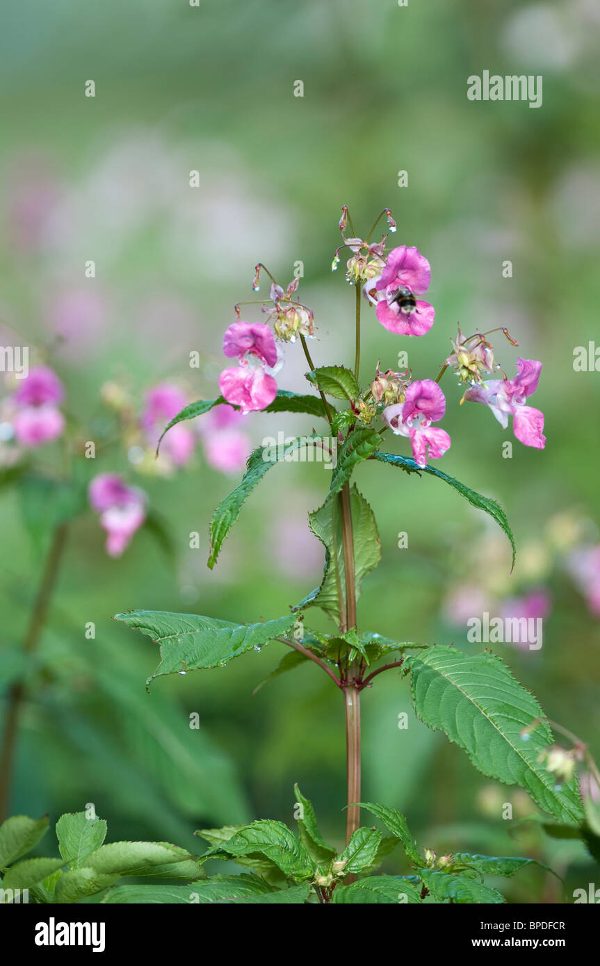 The Invasive weed Himalayan  balsam [impatiens glandulifera] with pollination being carried out by a buff tailed - Stock Image