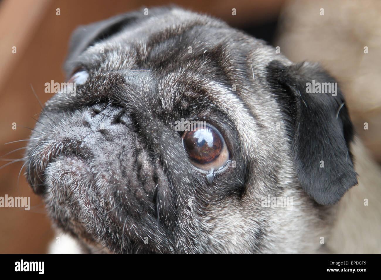 Close up of a Pug head. - Stock Image