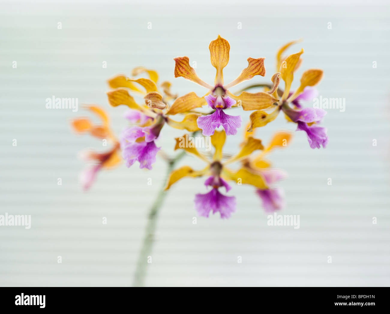 Encyclia orchid flowers against the white background of a window blind - Stock Image