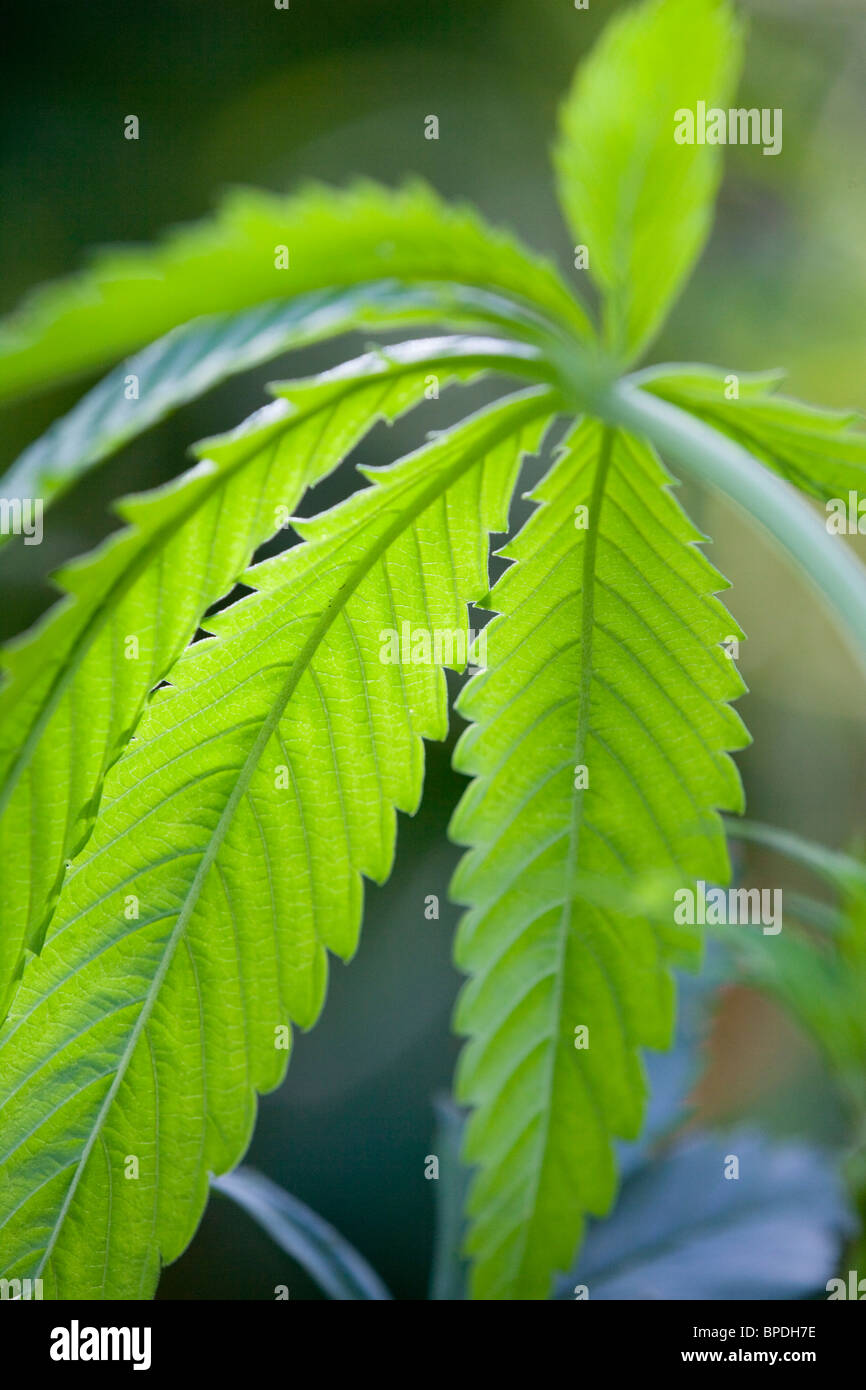 Cannabis plant; grown from bird seed - Stock Image