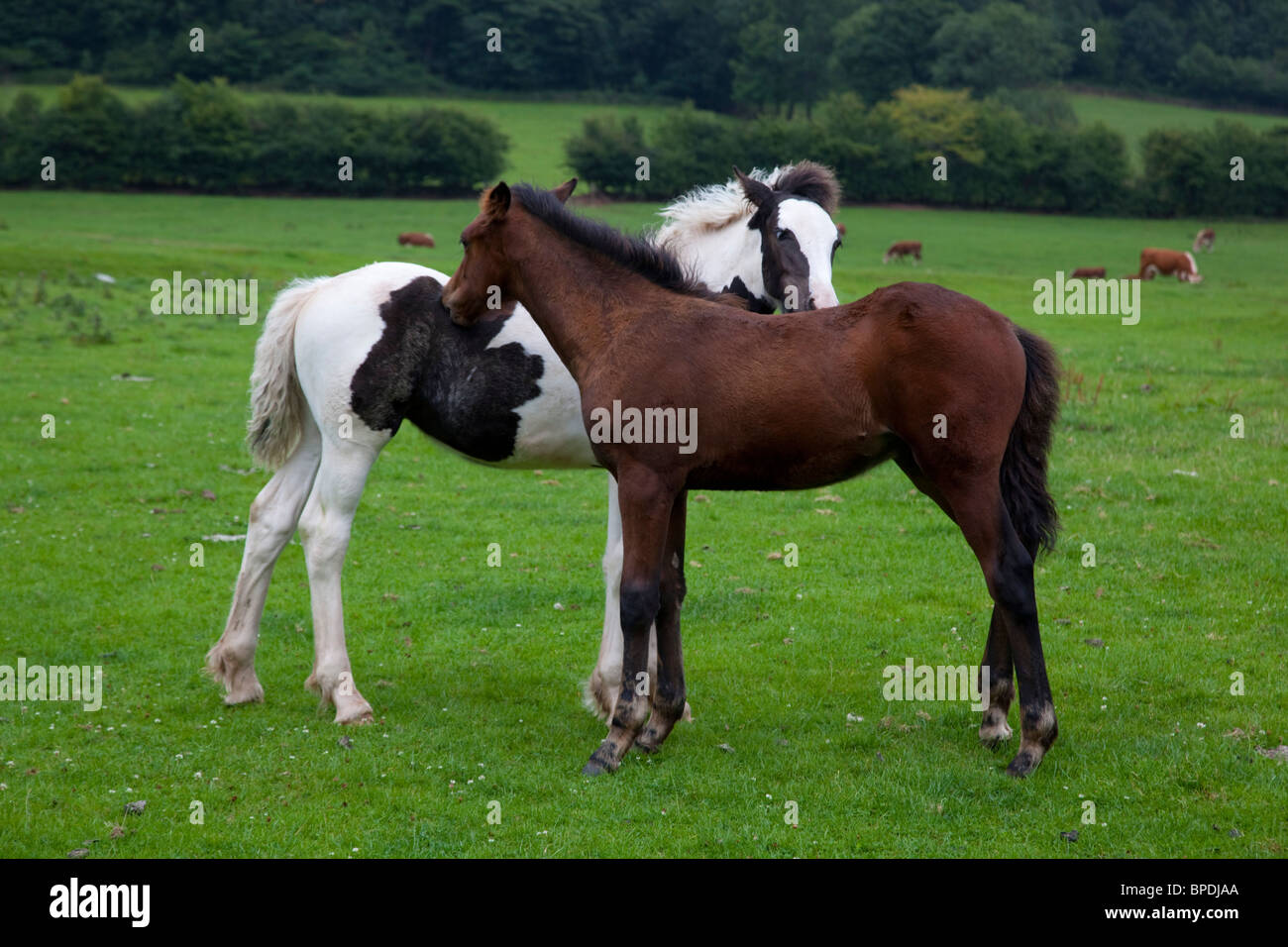 Foals mutual grooming; Wales taken from public footpath - Stock Image