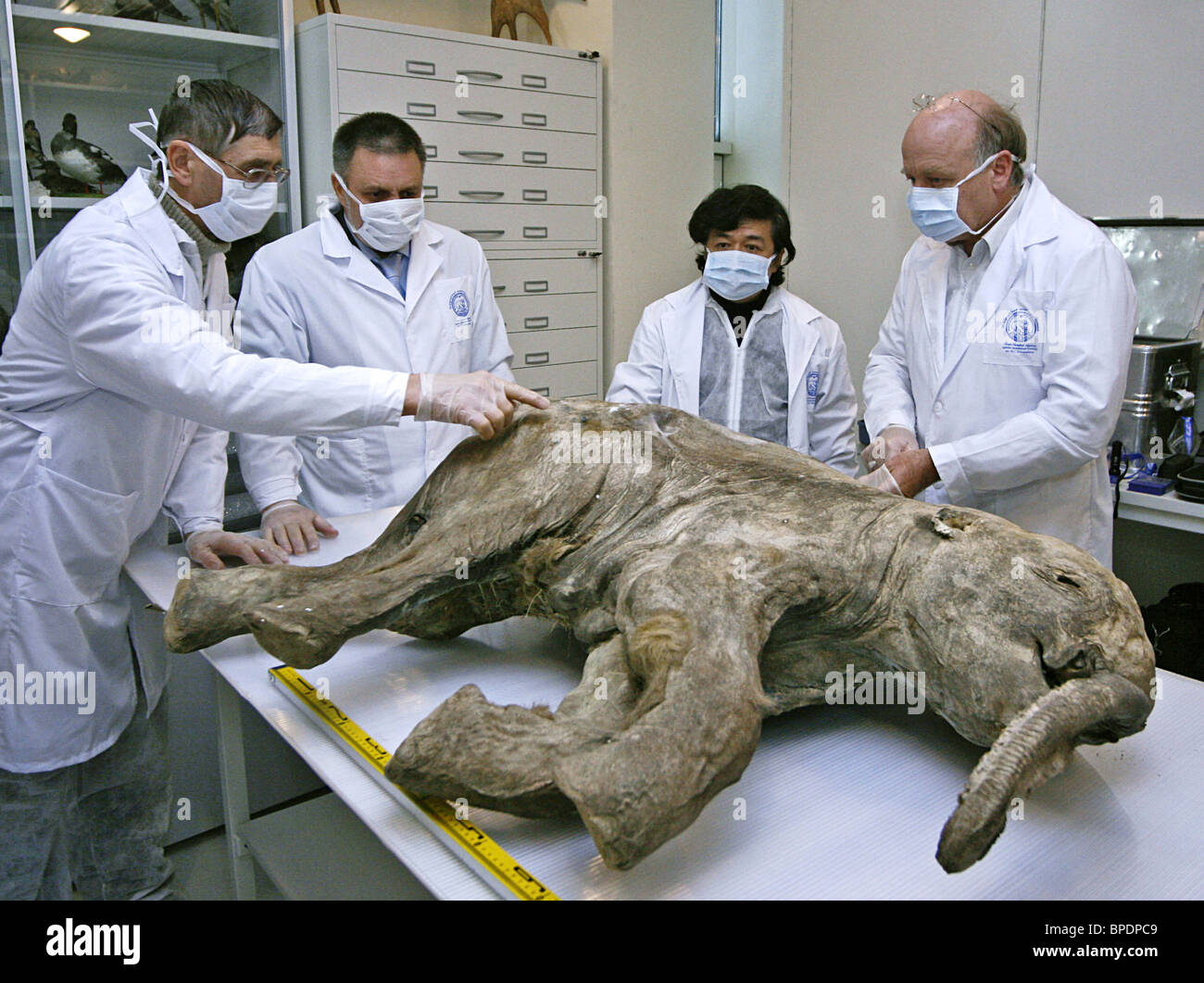 Carcass of baby mammoth inspected by scientists in Salekhard - Stock Image
