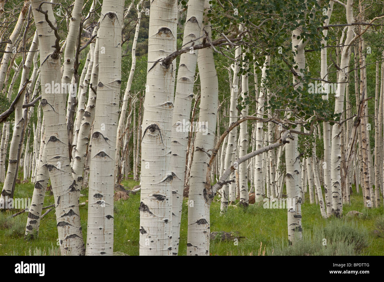 Pando, clonal colony of Quaking Aspen trees, Populus tremuloides, covering 107 acres, Fishlake National Forest, - Stock Image