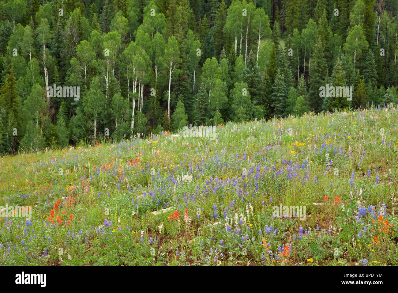 Wildflowers color meadow in 'The Basin' area of Kaibab Plateau, on North Rim of Grand Canyon National Park, - Stock Image